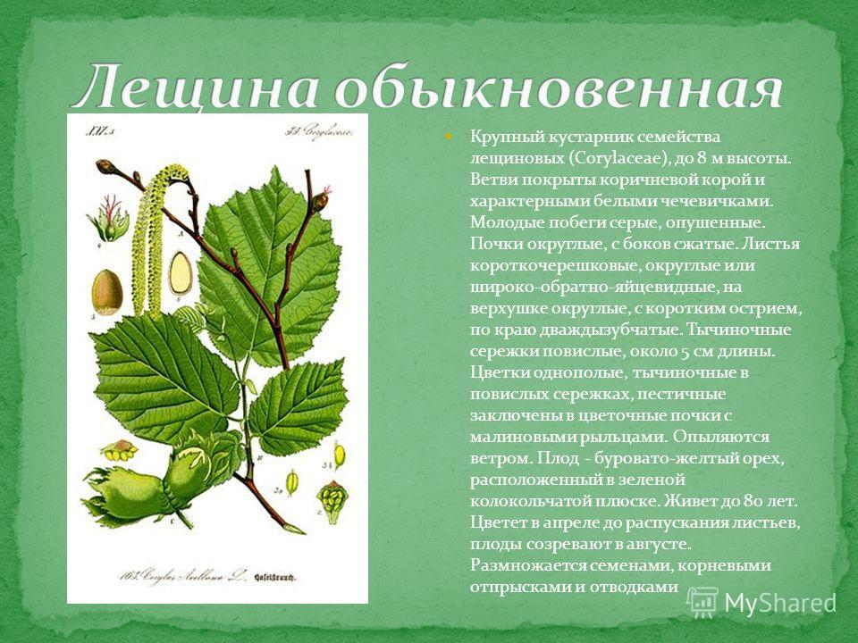Крупный кустарник семейства лещиновых (Corylaceae), до 8 м высоты. Ветви покрыты коричневой корой и характерными белыми чечевичками. Молодые побеги серые, опушенные. Почки округлые, с боков сжатые. Листья короткочерешковые, округлые или широко-обратн