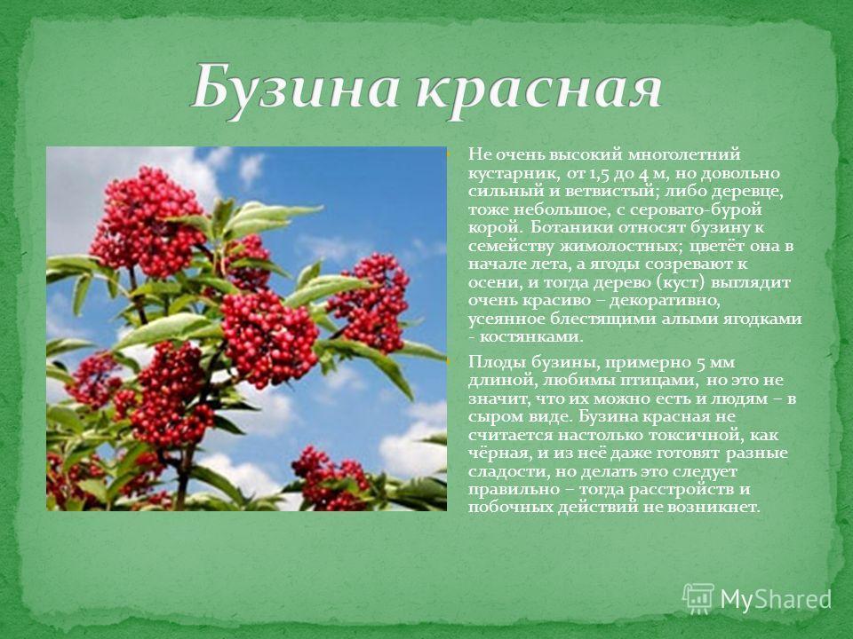 Не очень высокий многолетний кустарник, от 1,5 до 4 м, но довольно сильный и ветвистый; либо деревце, тоже небольшое, с серовато-бурой корой. Ботаники относят бузину к семейству жимолостных; цветёт она в начале лета, а ягоды созревают к осени, и тогд