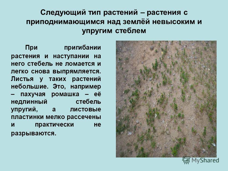 Следующий тип растений – растения с приподнимающимся над землёй невысоким и упругим стеблем При пригибании растения и наступании на него стебель не ломается и легко снова выпрямляется. Листья у таких растений небольшие. Это, например – пахучая ромашк