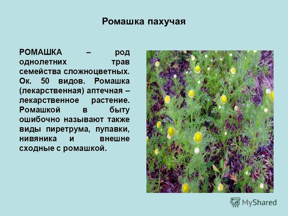 Ромашка пахучая РОМАШКА – род однолетних трав семейства сложноцветных. Ок. 50 видов. Ромашка (лекарственная) аптечная – лекарственное растение. Ромашкой в быту ошибочно называют также виды пиретрума, пупавки, нивяника и внешне сходные с ромашкой.