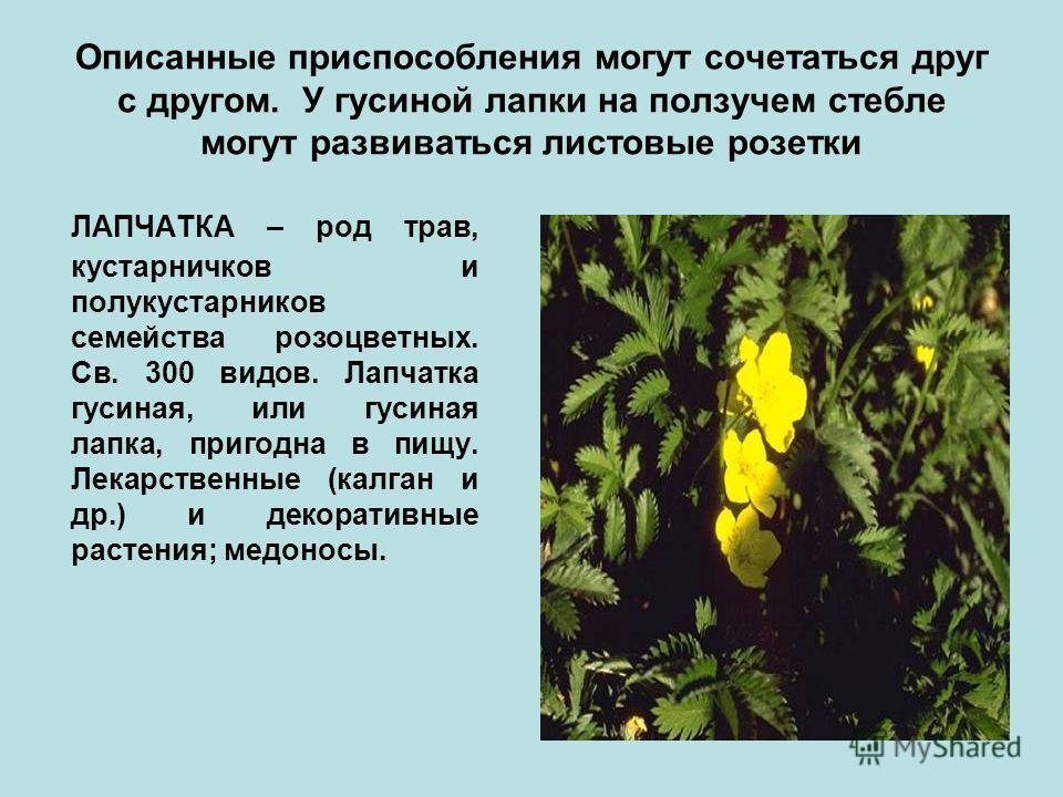Описанные приспособления могут сочетаться друг с другом. У гусиной лапки на ползучем стебле могут развиваться листовые розетки ЛАПЧАТКА – род трав, кустарничков и полукустарников семейства розоцветных. Св. 300 видов. Лапчатка гусиная, или гусиная лап