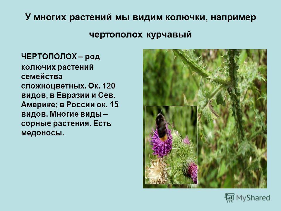 У многих растений мы видим колючки, например чертополох курчавый ЧЕРТОПОЛОХ – род колючих растений семейства сложноцветных. Ок. 120 видов, в Евразии и Сев. Америке; в России ок. 15 видов. Многие виды – сорные растения. Есть медоносы.