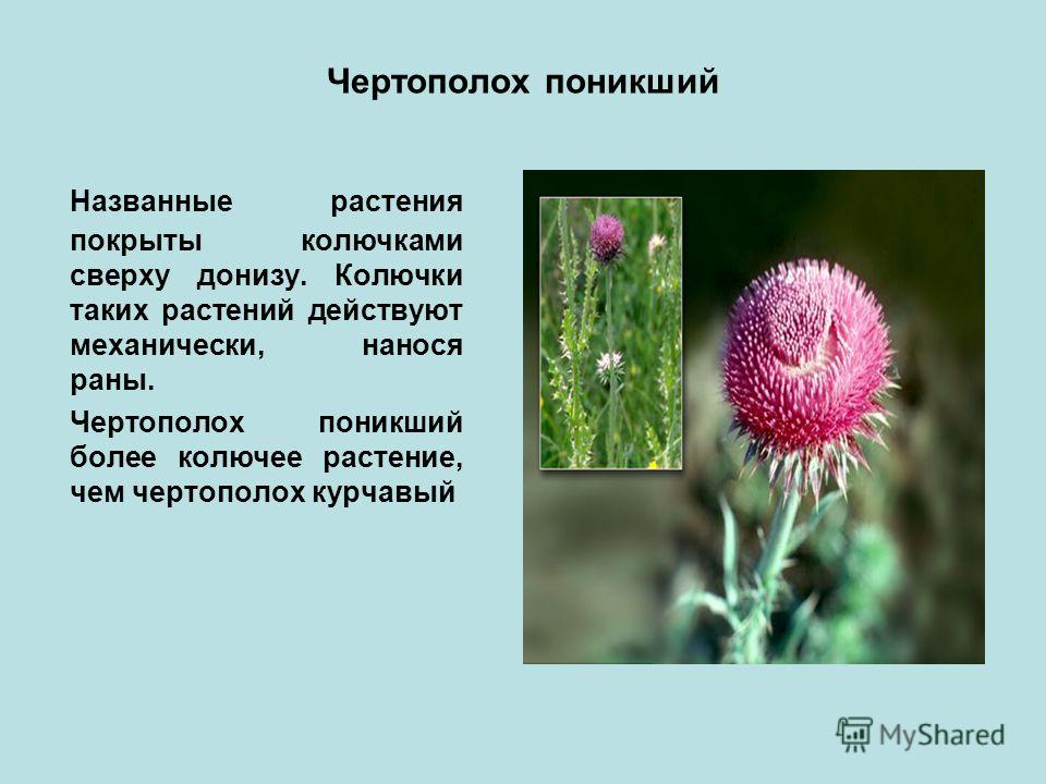 Чертополох поникший Названные растения покрыты колючками сверху донизу. Колючки таких растений действуют механически, нанося раны. Чертополох поникший более колючее растение, чем чертополох курчавый