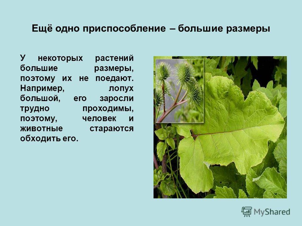 Ещё одно приспособление – большие размеры У некоторых растений большие размеры, поэтому их не поедают. Например, лопух большой, его заросли трудно проходимы, поэтому, человек и животные стараются обходить его.
