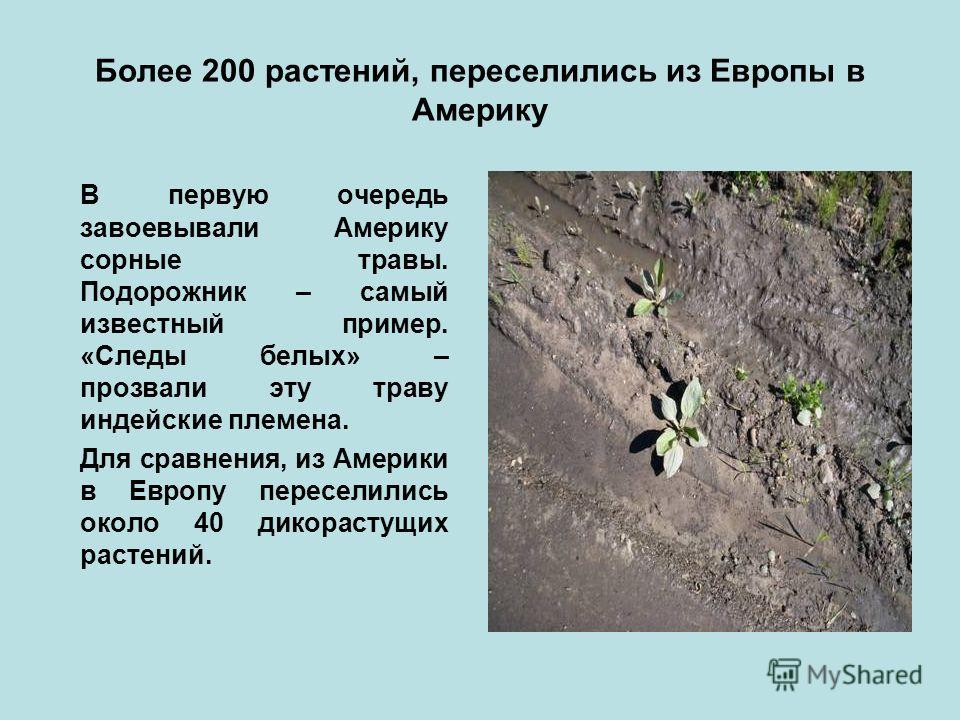 Более 200 растений, переселились из Европы в Америку В первую очередь завоевывали Америку сорные травы. Подорожник – самый известный пример. «Следы белых» – прозвали эту траву индейские племена. Для сравнения, из Америки в Европу переселились около 4