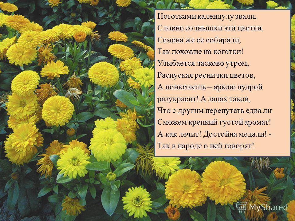 Ноготками календулу звали, Словно солнышки эти цветки, Семена же ее собирали, Так похожие на коготки! Улыбается ласково утром, Распуская реснички цветов, А понюхаешь – яркою пудрой разукрасит! А запах таков, Что с другим перепутать едва ли Сможем кре