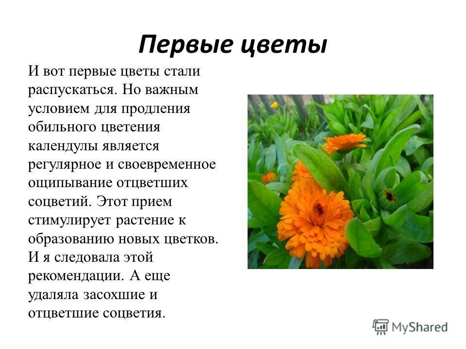 Первые цветы И вот первые цветы стали распускаться. Но важным условием для продления обильного цветения календулы является регулярное и своевременное ощипывание отцветших соцветий. Этот прием стимулирует растение к образованию новых цветков. И я след