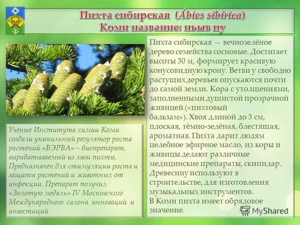 Пихта сибирская вечнозелёное дерево семейства сосновые. Достигает высоты 30 м, формирует красивую конусовидную крону. Ветви у свободно растущих деревьев опускаются почти до самой земли. Кора с утолщениями, заполненными душистой прозрачной живицей («п