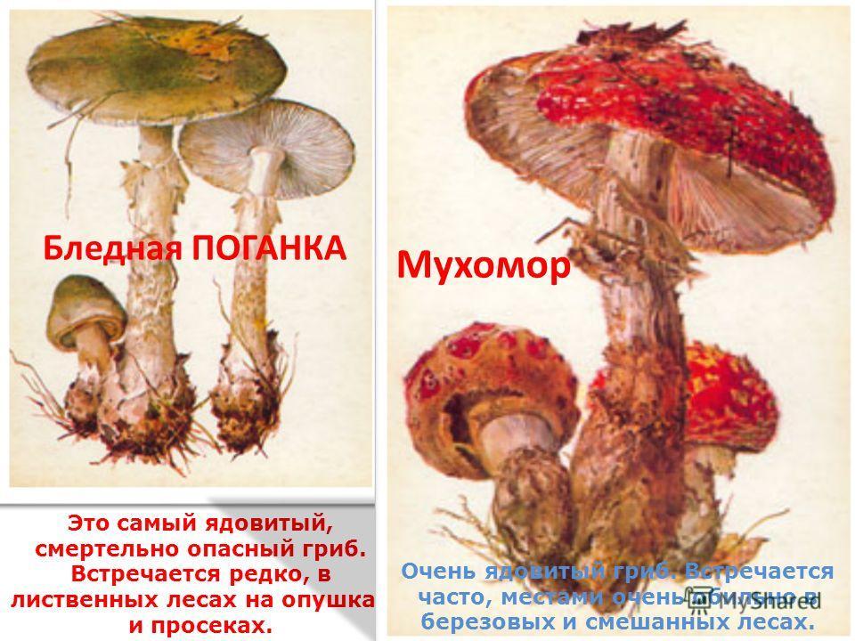 Бледная ПОГАНКА Это самый ядовитый, смертельно опасный гриб. Встречается редко, в лиственных лесах на опушках и просеках. Мухомор Очень ядовитый гриб. Встречается часто, местами очень обильно в березовых и смешанных лесах.