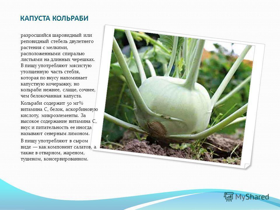 КАПУСТА КОЛЬРАБИ разросшийся шаровидный или реповидный стебель двулетнего растения с мелкими, расположенными спиралью листьями на длинных черешках. В пищу употребляют мясистую утолщенную часть стебля, которая по вкусу напоминает капустную кочерыжку,