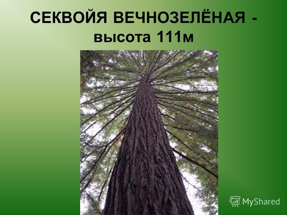 СЕКВОЙЯ ВЕЧНОЗЕЛЁНАЯ - высота 111 м