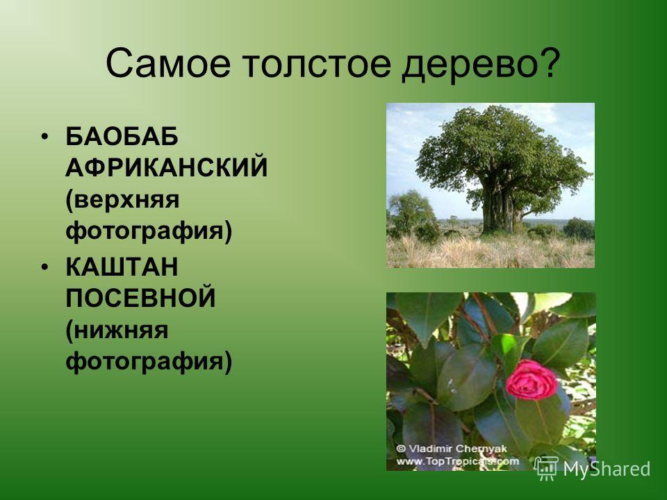 Самое толстое дерево? БАОБАБ АФРИКАНСКИЙ (верхняя фотография) КАШТАН ПОСЕВНОЙ (нижняя фотография)