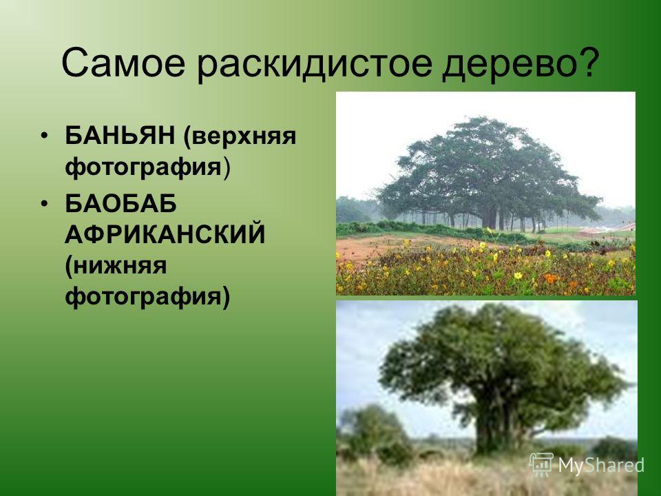 Самое раскидистое дерево? БАНЬЯН (верхняя фотография) БАОБАБ АФРИКАНСКИЙ (нижняя фотография)