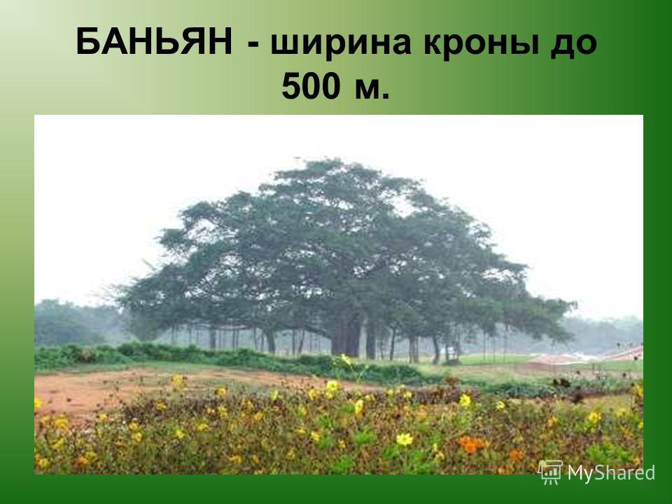 БАНЬЯН - ширина кроны до 500 м.