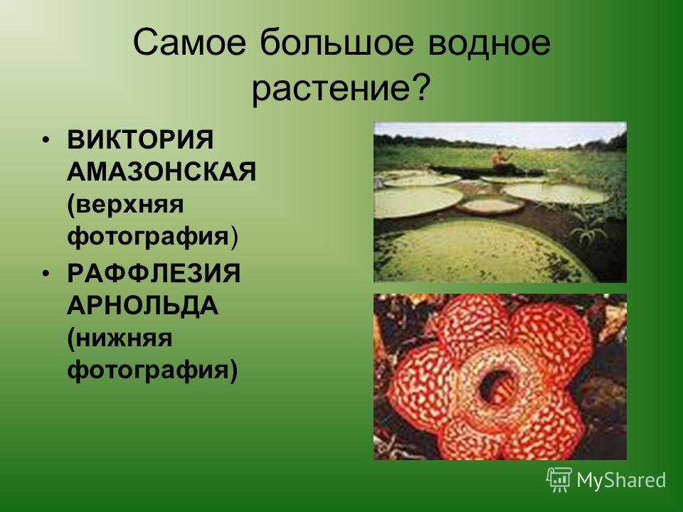 Самое большое водное растение? ВИКТОРИЯ АМАЗОНСКАЯ (верхняя фотография) РАФФЛЕЗИЯ АРНОЛЬДА (нижняя фотография)