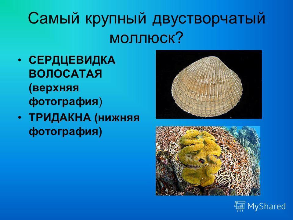 Самый крупный двустворчатый моллюск? СЕРДЦЕВИДКА ВОЛОСАТАЯ (верхняя фотография) ТРИДАКНА (нижняя фотография)