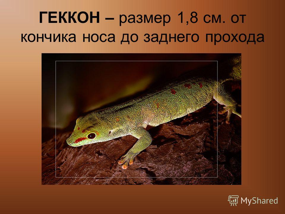 ГЕККОН – размер 1,8 см. от кончика носа до заднего прохода