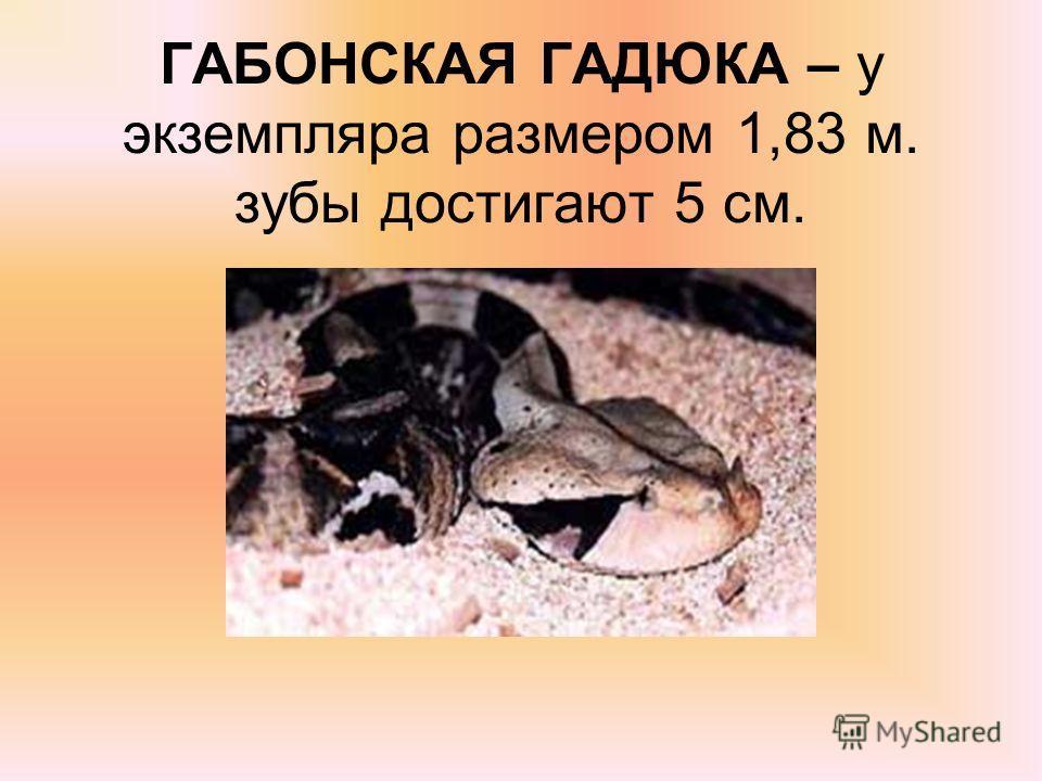 ГАБОНСКАЯ ГАДЮКА – у экземпляра размером 1,83 м. зубы достигают 5 см.