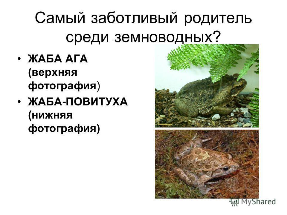 Самый заботливый родитель среди земноводных? ЖАБА АГА (верхняя фотография) ЖАБА-ПОВИТУХА (нижняя фотография)