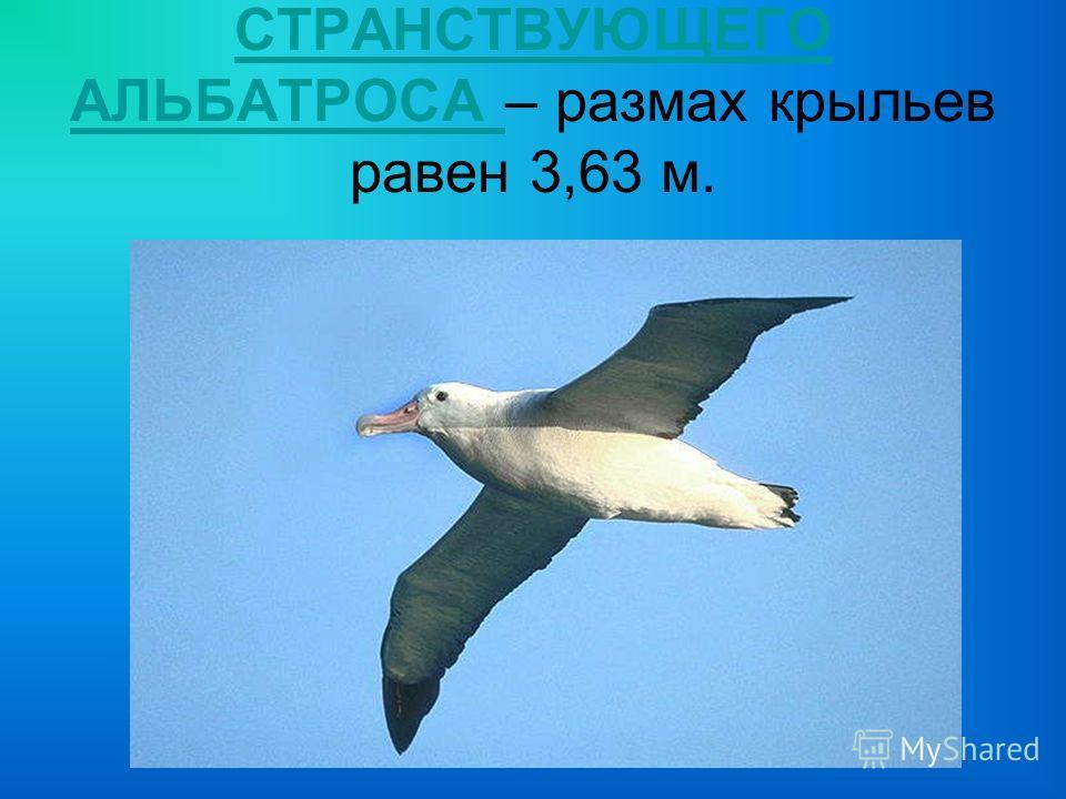 СТРАНСТВУЮЩЕГО АЛЬБАТРОСА СТРАНСТВУЮЩЕГО АЛЬБАТРОСА – размах крыльев равен 3,63 м.