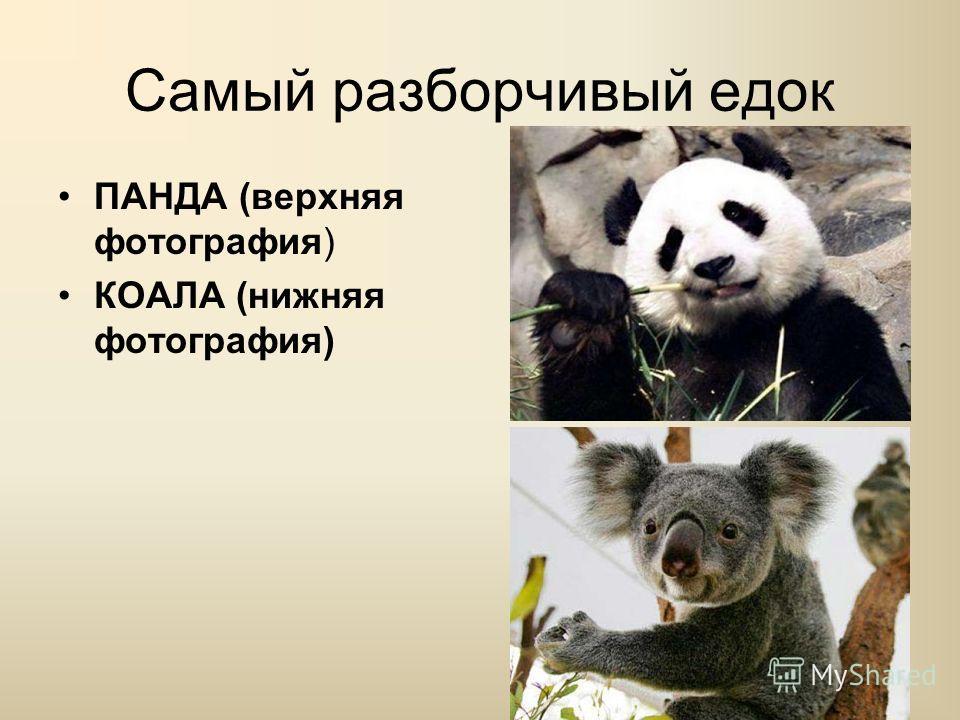 Самый разборчивый едок ПАНДА (верхняя фотография) КОАЛА (нижняя фотография)