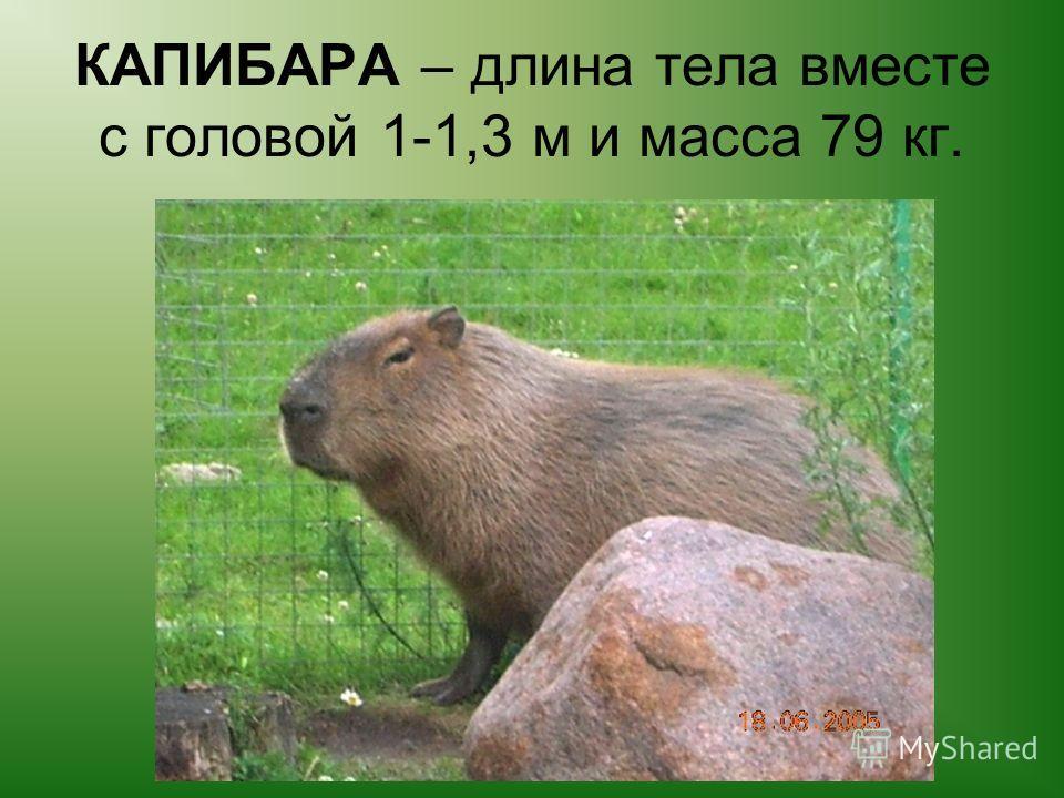 КАПИБАРА – длина тела вместе с головой 1-1,3 м и масса 79 кг.