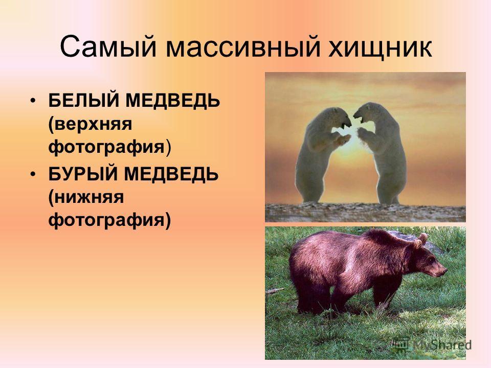 Самый массивный хищник БЕЛЫЙ МЕДВЕДЬ (верхняя фотография) БУРЫЙ МЕДВЕДЬ (нижняя фотография)