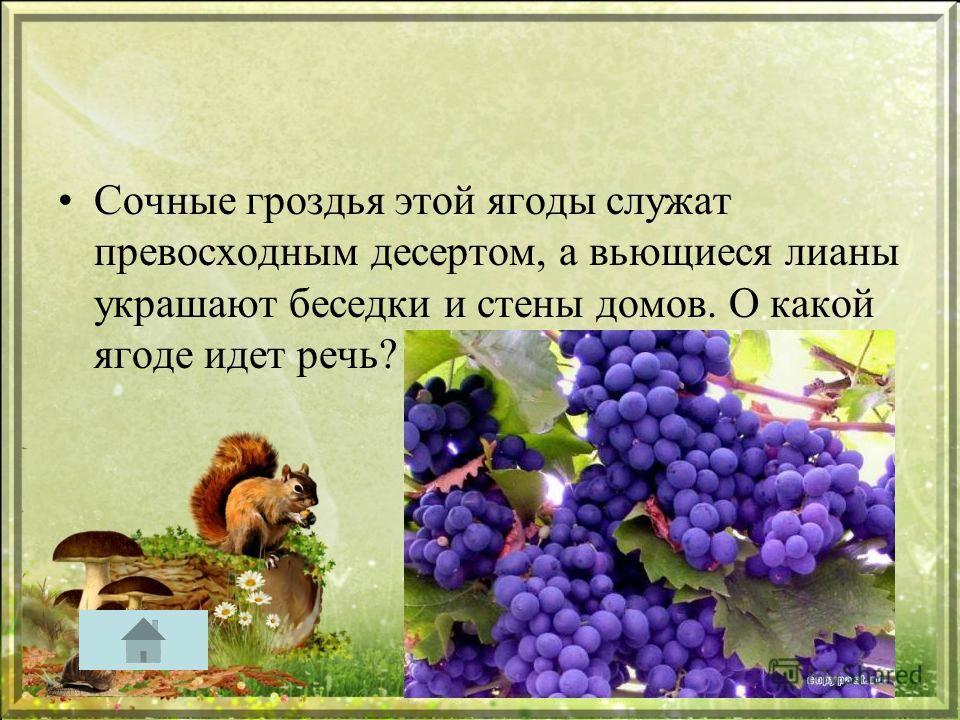 Сочные гроздья этой ягоды служат превосходным десертом, а вьющиеся лианы украшают беседки и стены домов. О какой ягоде идет речь?