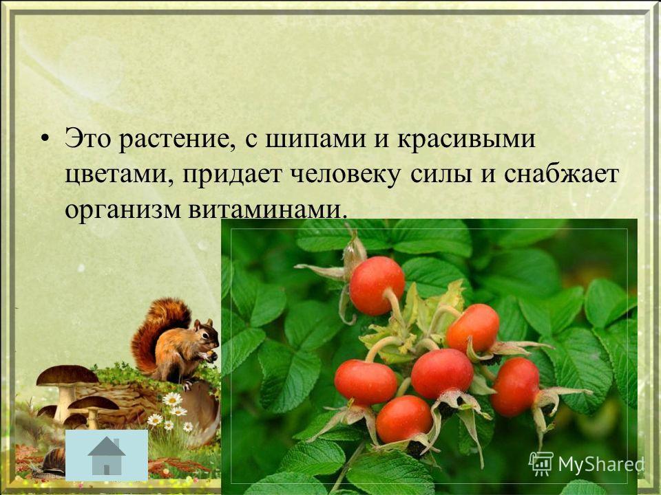 Это растение, с шипами и красивыми цветами, придает человеку силы и снабжает организм витаминами.