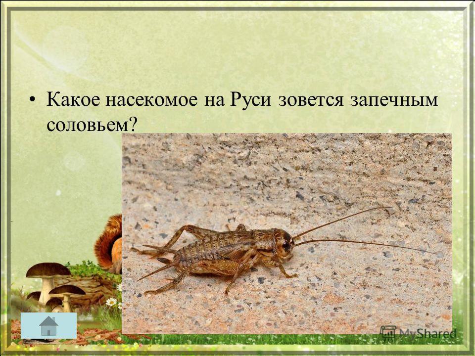 Какое насекомое на Руси зовется запечным соловьем?