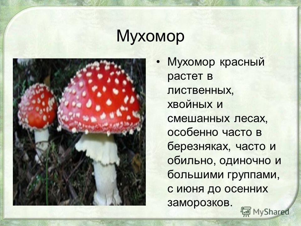 Мухомор Мухомор красный растет в лиственных, хвойных и смешанных лесах, особенно часто в березняках, часто и обильно, одиночно и большими группами, с июня до осенних заморозков.