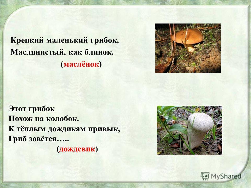 Крепкий маленький грибок, Маслянистый, как блинок. (маслёнок) Этот грибок Похож на колобок. К тёплым дождикам привык, Гриб зовётся….. (дождевик)
