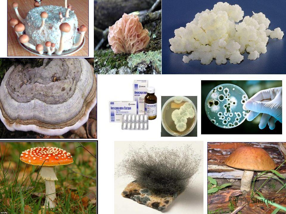 С помощью спор или делением грибницы