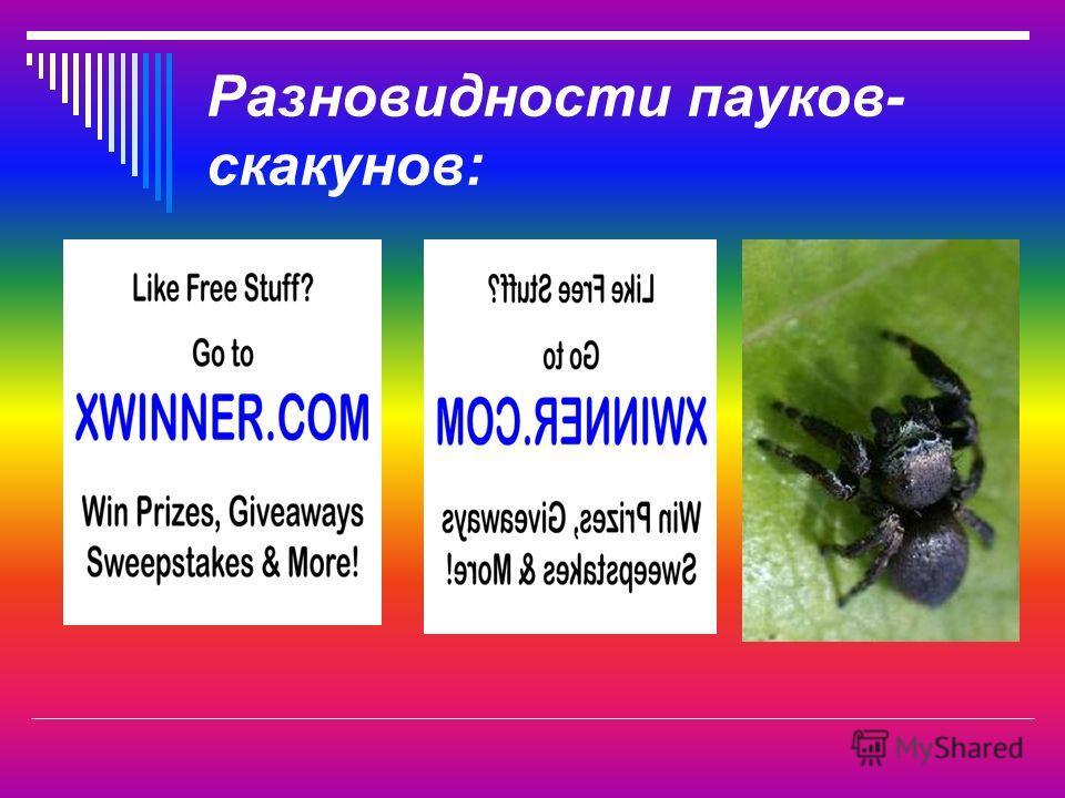 Разновидности пауков- скакунов: