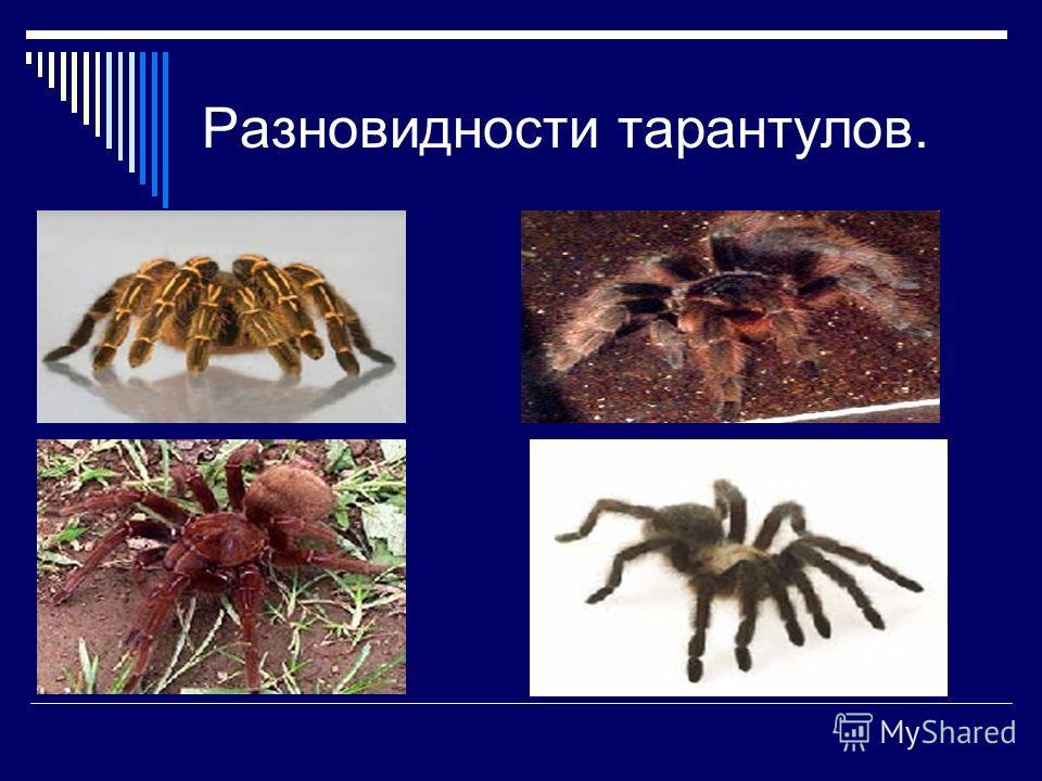 Разновидности тарантулов.