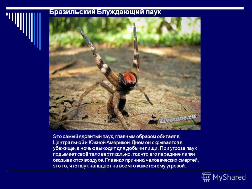 Бразильский Блуждающий паук Это самый ядовитый паук, главным образом обитает в Центральной и Южной Америкой. Днем он скрывается в убежище, а ночью выходит для добычи пищи. При угрозе паук подымает своё тело вертикально, так что его передние лапки ока