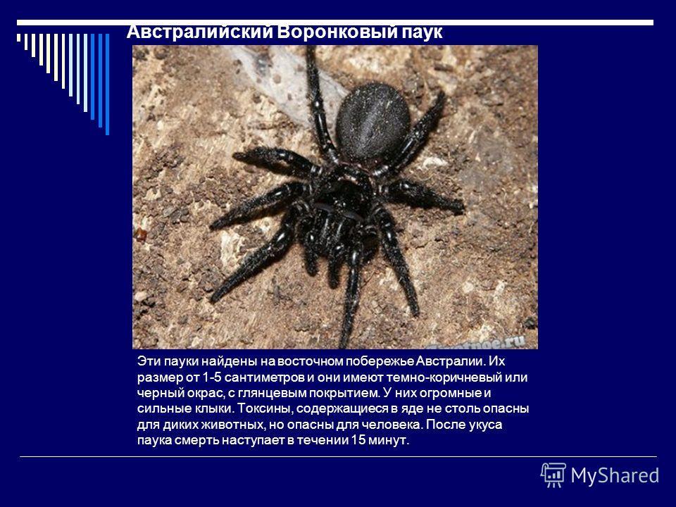 Австралийский Воронковый паук Эти пауки найдены на восточном побережье Австралии. Их размер от 1-5 сантиметров и они имеют темно-коричневый или черный окрас, с глянцевым покрытием. У них огромные и сильные клыки. Токсины, содержащиеся в яде не столь