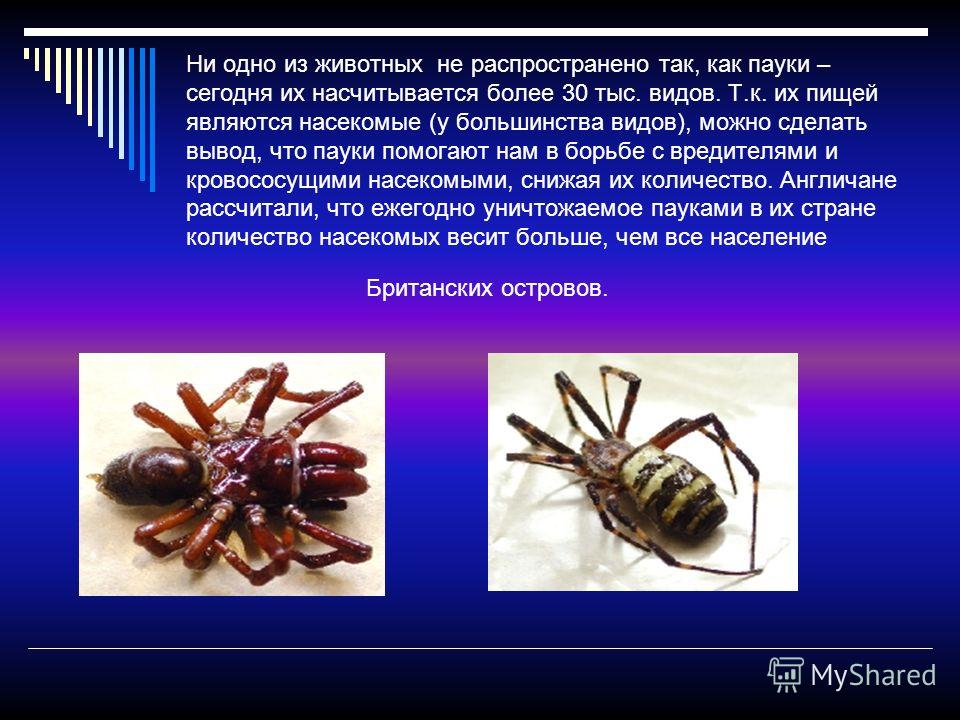 Ни одно из животных не распространено так, как пауки – сегодня их насчитывается более 30 тыс. видов. Т.к. их пищей являются насекомые (у большинства видов), можно сделать вывод, что пауки помогают нам в борьбе с вредителями и кровососущими насекомыми