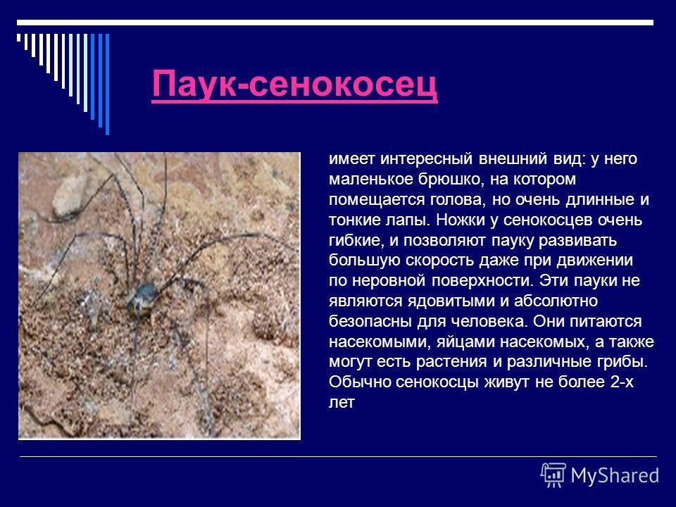 Паук-сенокосец имеет интересный внешний вид: у него маленькое брюшко, на котором помещается голова, но очень длинные и тонкие лапы. Ножки у сенокосцев очень гибкие, и позволяют пауку развивать большую скорость даже при движении по неровной поверхност