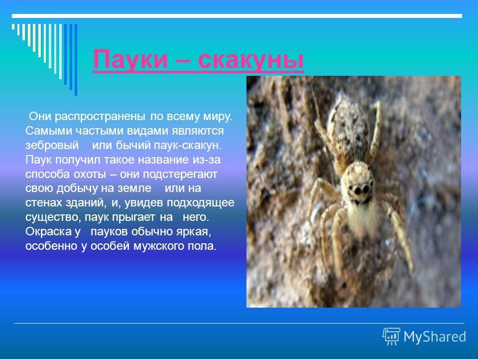 Пауки – скакуны Они распространены по всему миру. Самыми частыми видами являются зебровый или бычий паук-скакун. Паук получил такое название из-за способа охоты – они подстерегают свою добычу на земле или на стенах зданий, и, увидев подходящее сущест
