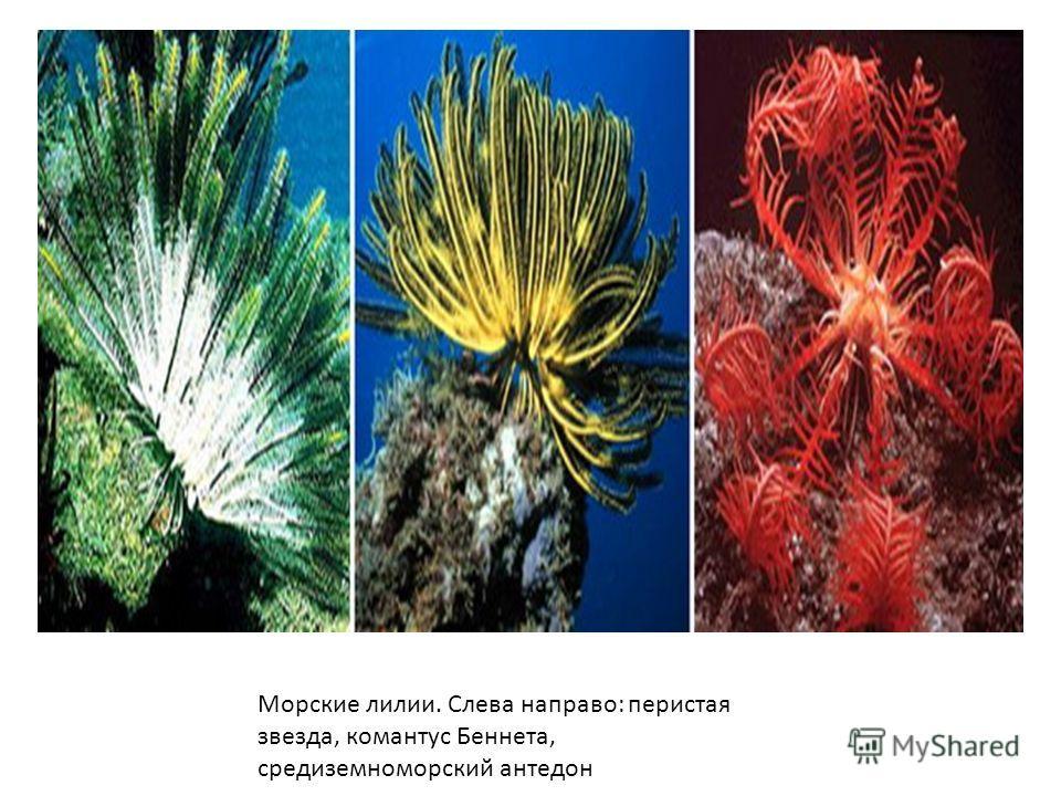 Морские лилии. Слева направо: перистая звезда, комантус Беннета, средиземноморский антедон