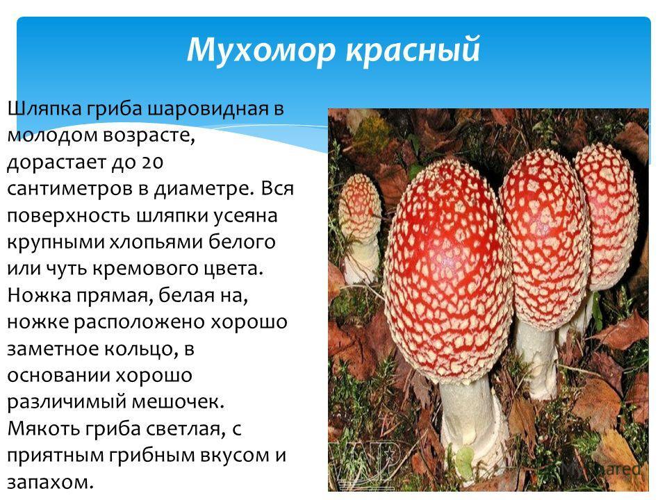 Мухомор красный Шляпка гриба шаровидная в молодом возрасте, дорастает до 20 сантиметров в диаметре. Вся поверхность шляпки усеяна крупными хлопьями белого или чуть кремового цвета. Ножка прямая, белая на, ножке расположено хорошо заметное кольцо, в о