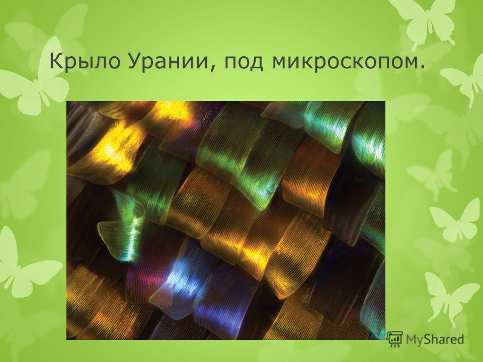 Крыло Урании, под микроскопом.