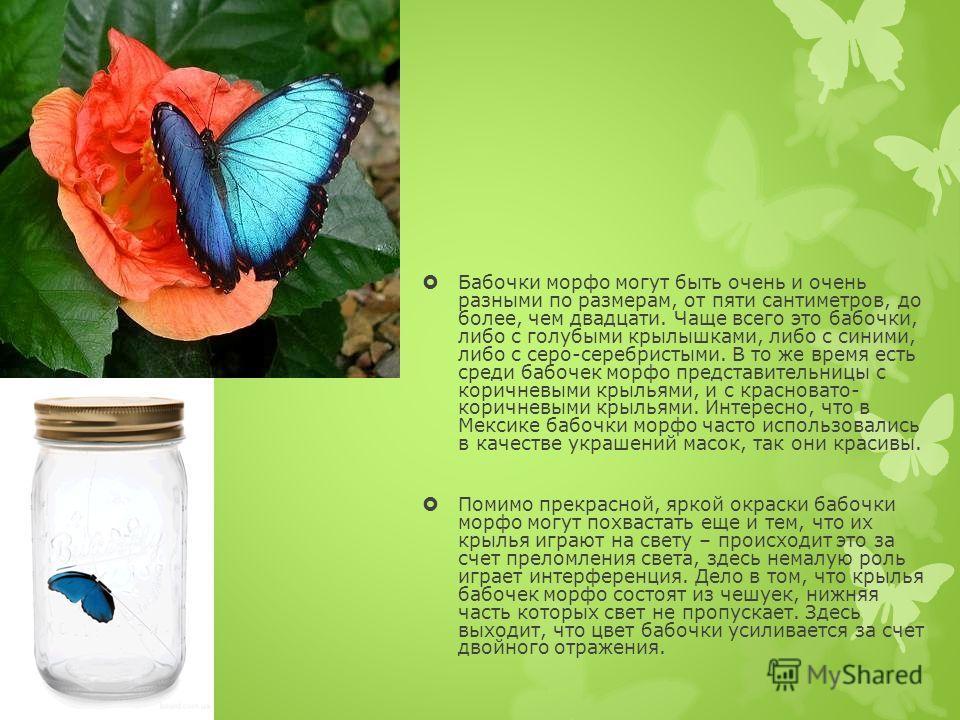 Бабочки морфо могут быть очень и очень разными по размерам, от пяти сантиметров, до более, чем двадцати. Чаще всего это бабочки, либо с голубыми крылышками, либо с синими, либо с серо-серебристыми. В то же время есть среди бабочек морфо представитель