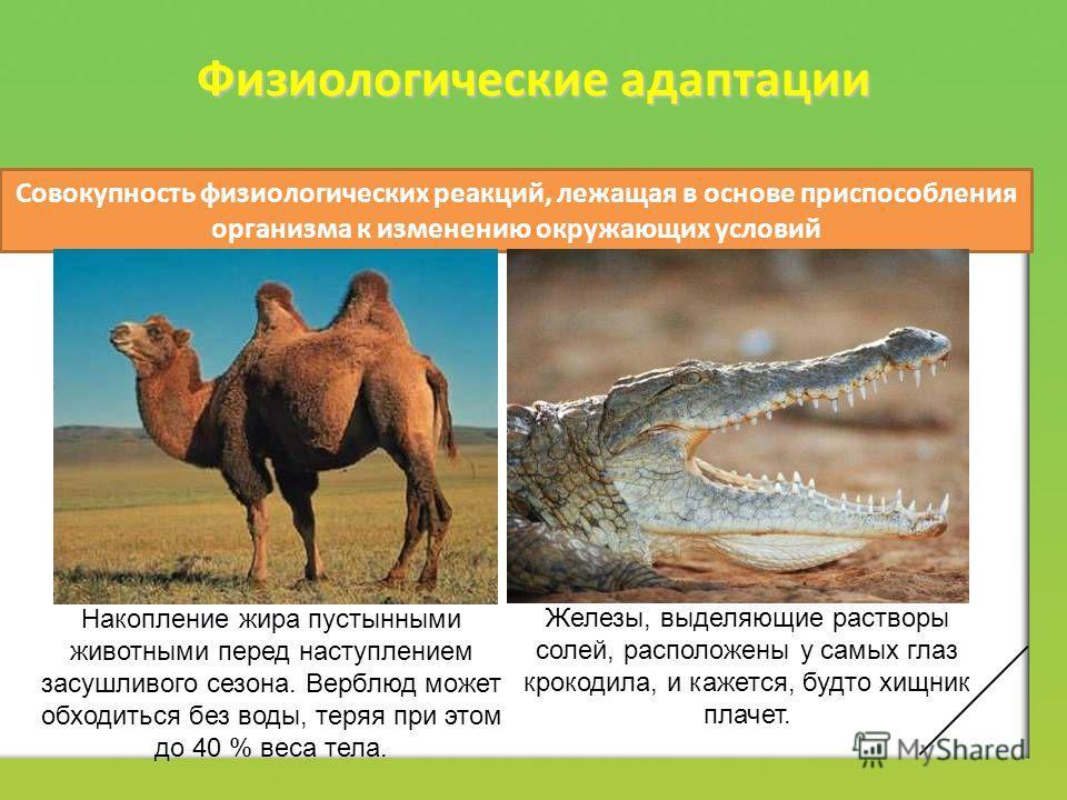 Физиологические адаптации Совокупность физиологических реакций, лежащая в основе приспособления организма к изменению окружающих условий Накопление жира пустынными животными перед наступлением засушливого сезона. Верблюд может обходиться без воды, те
