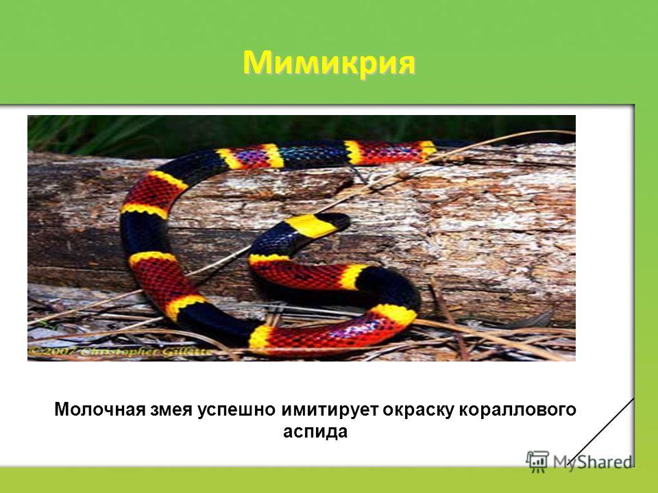 Мимикрия Молочная змея успешно имитирует окраску кораллового аспида