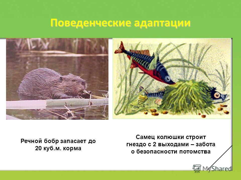 Поведенческие адаптации Речной бобр запасает до 20 куб.м. корма Самец колюшки строит гнездо с 2 выходами – забота о безопасности потомства