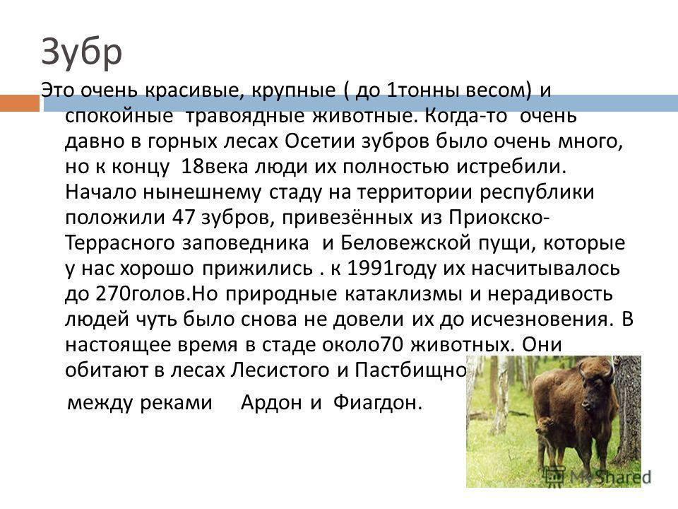 Зубр Это очень красивые, крупные ( до 1 тонны весом ) и спокойные травоядные животные. Когда - то очень давно в горных лесах Осетии зубров было очень много, но к концу 18 века люди их полностью истребили. Начало нынешнему стаду на территории республи