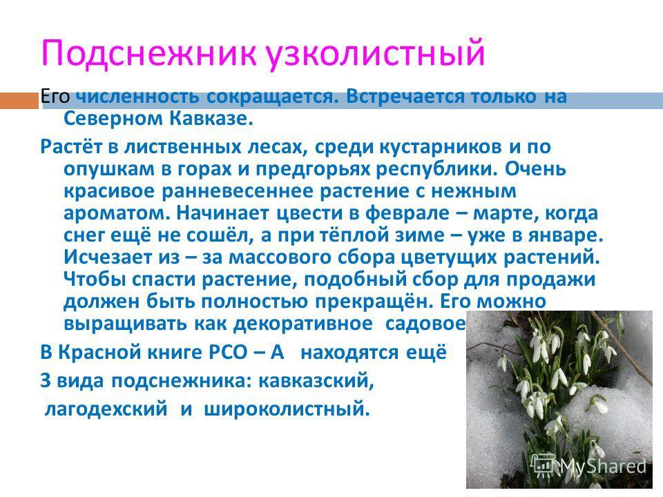 Подснежник узколистный Его численность сокращается. Встречается только на Северном Кавказе. Растёт в лиственных лесах, среди кустарников и по опушкам в горах и предгорьях республики. Очень красивое ранневесеннее растение с нежным ароматом. Начинает ц
