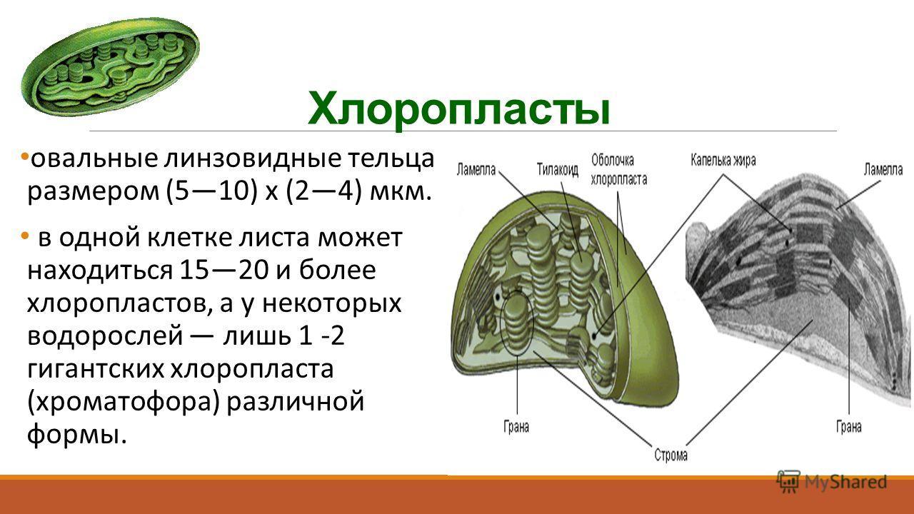 Хлоропласты овальные линзовидные тельца размером (510) х (24) мкм. в одной клетке листа может находиться 1520 и более хлоропластов, а у некоторых водорослей лишь 1 -2 гигантских хлоропласта (хроматофора) различной формы.